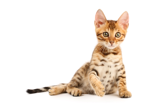 Bengal Cat Health Issues
