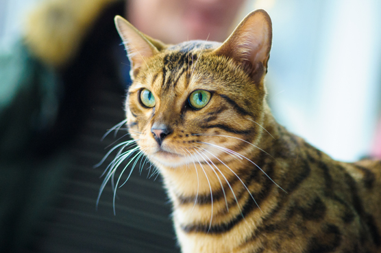 Bengal Cat Health Problems