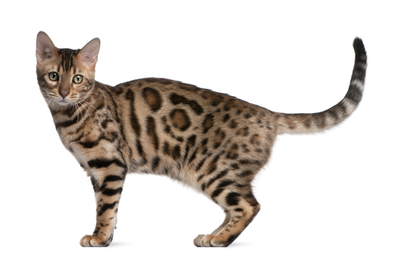 Bengal Cat Temperament