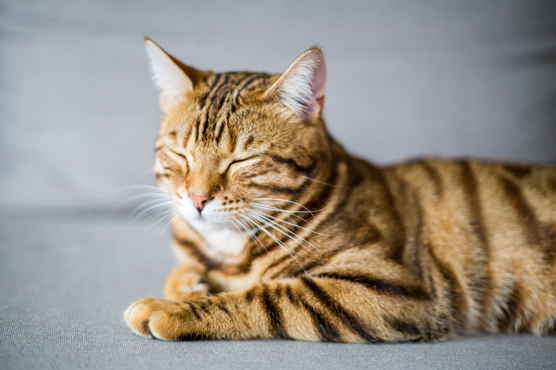 Bengal Cats for Sale in Scotland