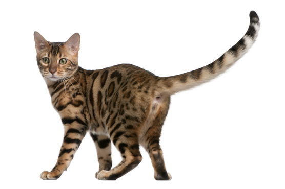Bengal Cats for Sale in Glasgow