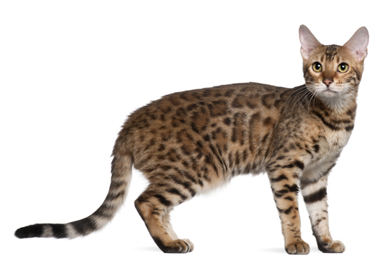 Does the Bengal Cat Make a Good Pet?