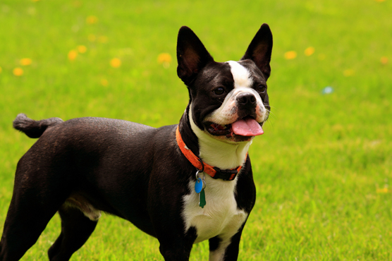 Boston Terriers Puppies for Sale