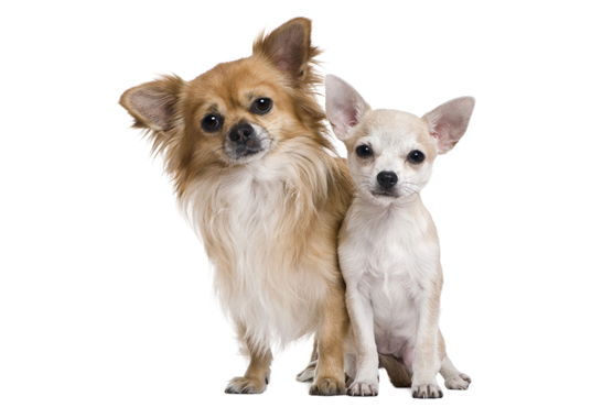 Chihuahua Puppies Health Problems