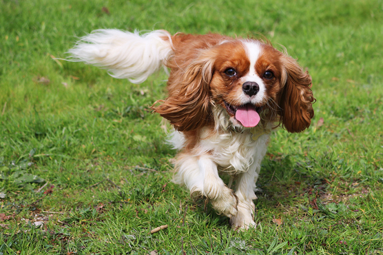 Cavalier King Charles Spaniel Puppies for Sale in Scotland