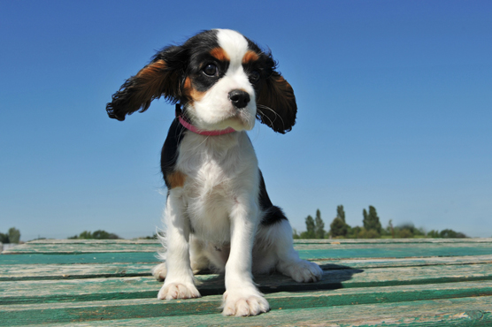 Cavalier King Charles Spaniel Dogs for Sale in Scotland