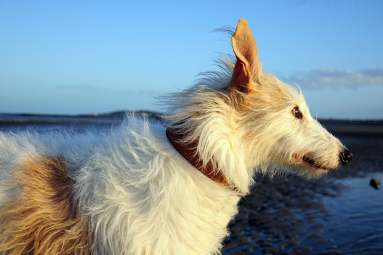 Lurcher Dogs for Sale