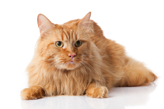 Does the Maine Coon Cat Make a Good Pet?