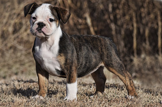 Old Tyme Bulldog Dogs for Sale