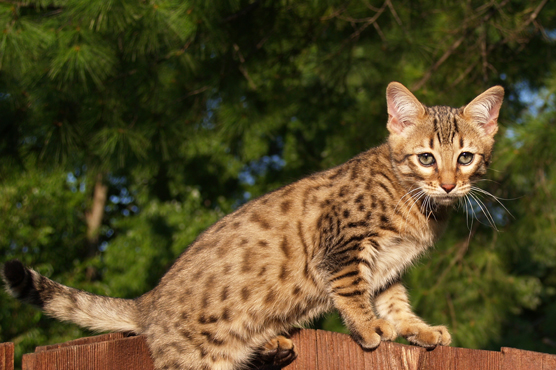 Savannah Cats for Sale in Scotland