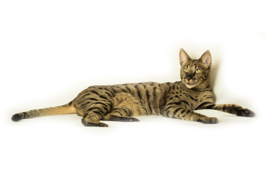 Savannah Cats for Sale in Glasgow
