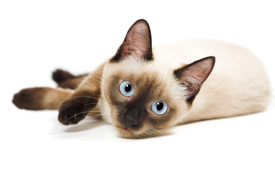 Siamese Cats for Sale in Glasgow