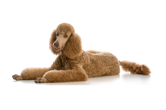 Standard Poodle Dogs for Sale