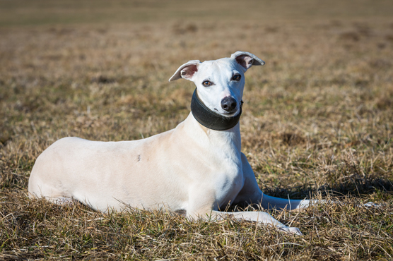 Whippet Dogs for Sale