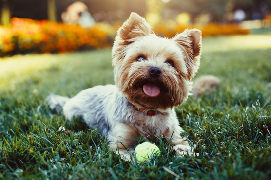 Yorkshire Terrier Dogs for Sale