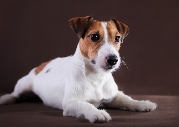 Jack Russell Temperament & Personality