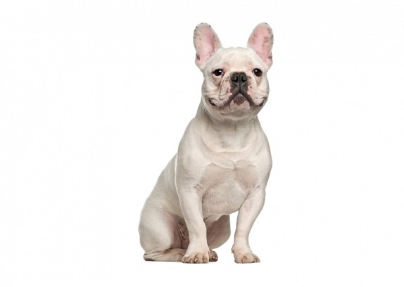 French Bulldog Temperament and Personality