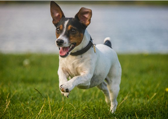 Jack Russell Health Problems