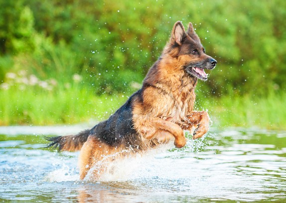 German Shepherd Temperament and Personality