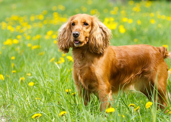 Health problems in Cocker Spaniels