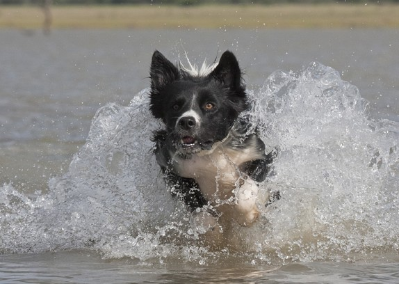 Border Collie Temperament and Personality